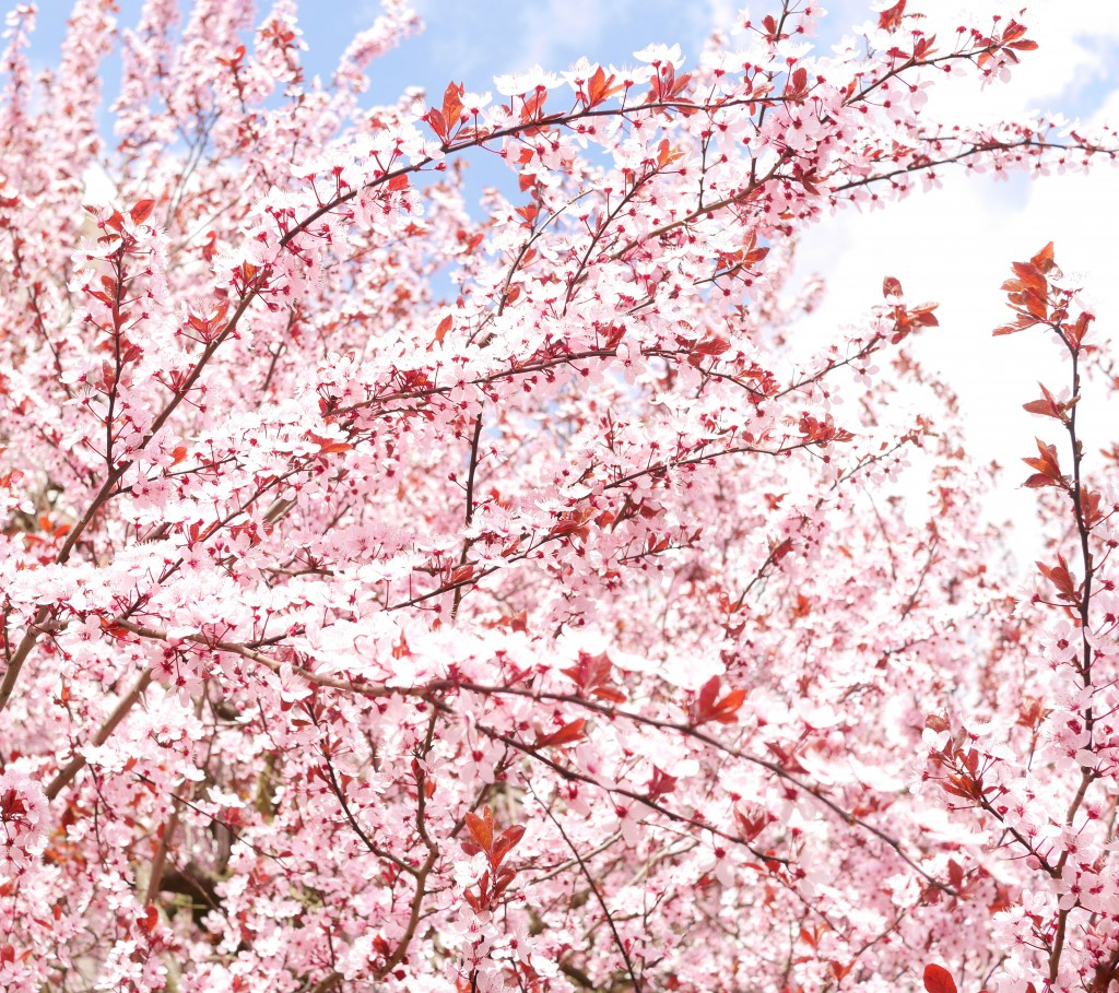 cherryblossoms_