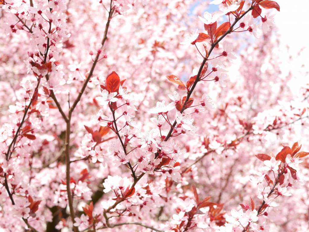 cherryblossoms_chinese