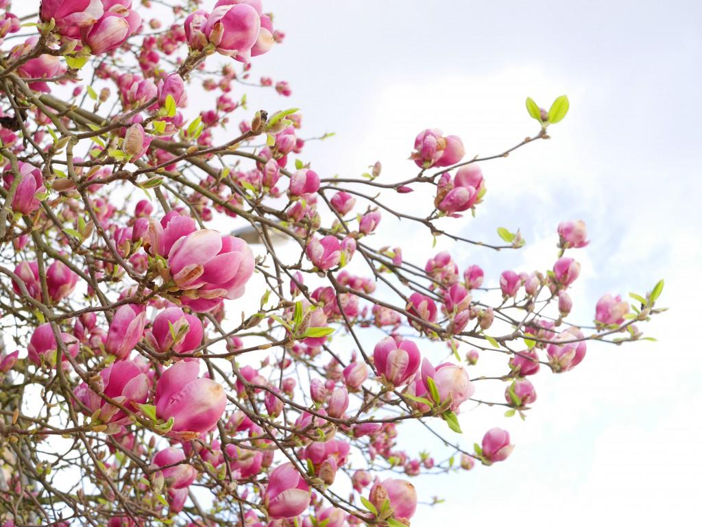 hotpink_magnolias