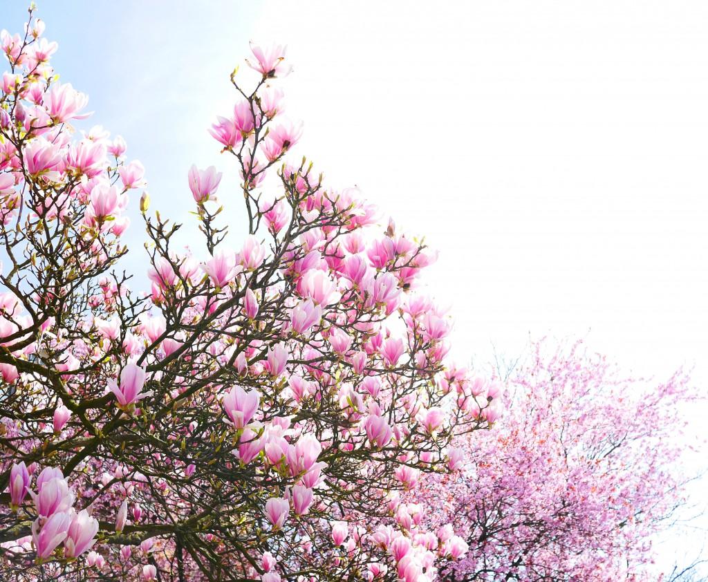 magnolia_cherryblossom_luxemburg