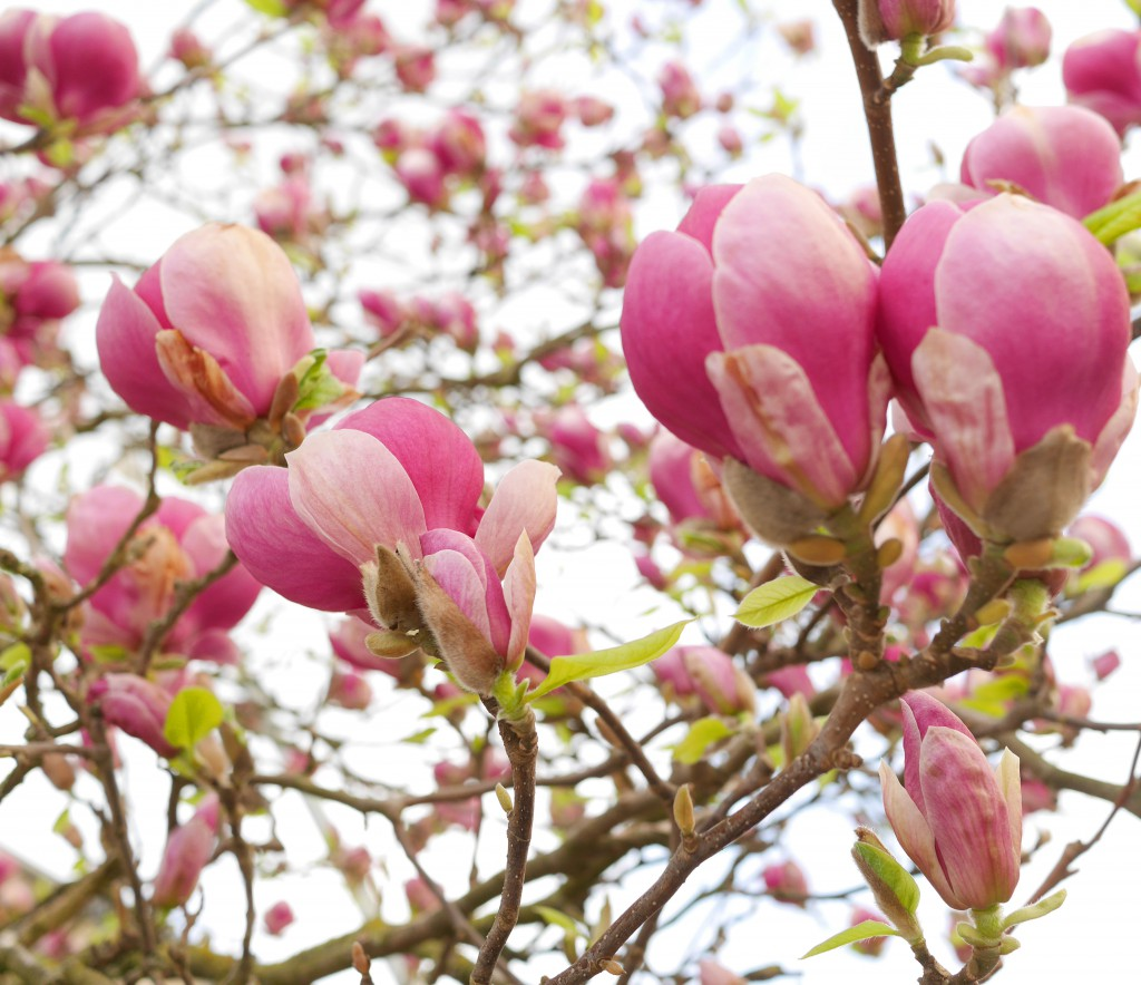 magnolia_hotpink