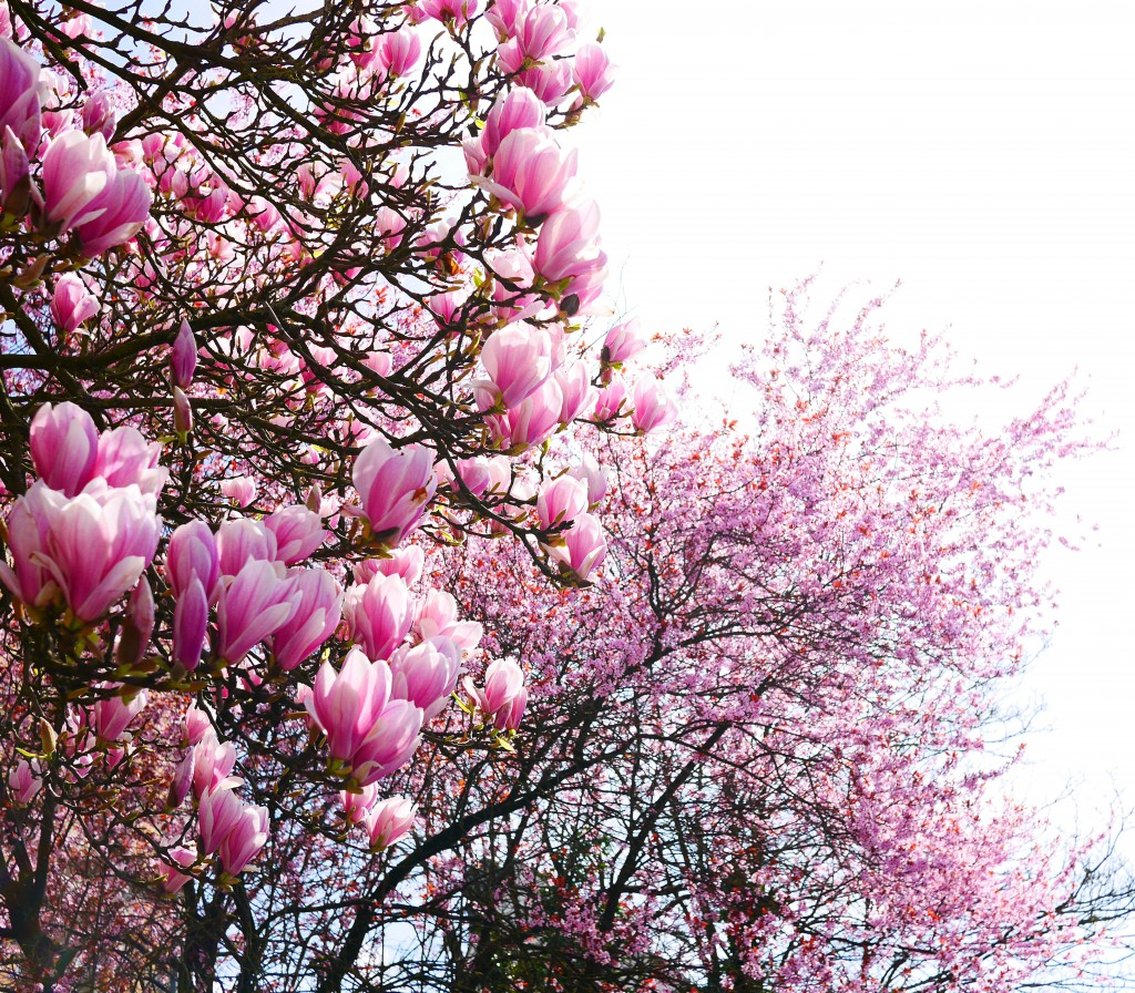magnolia_strong_pink_luxembourg