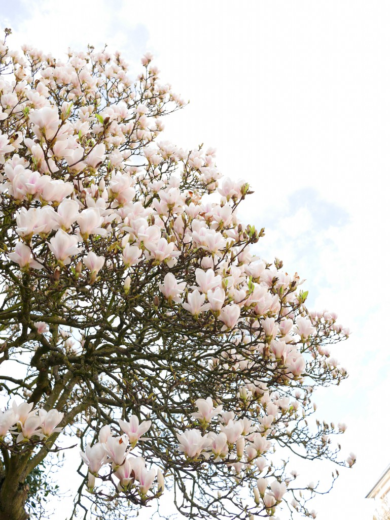 white_magnolia